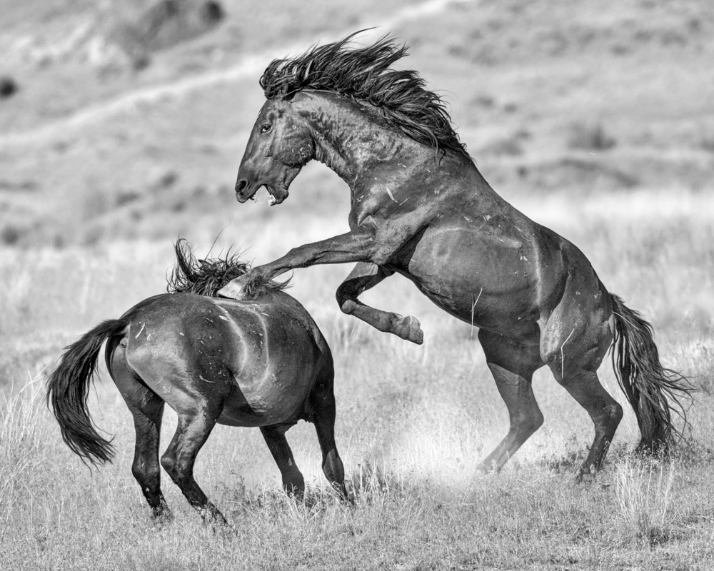 black and white photography of two wild horse mustangs fighting in Utah's West Desert
