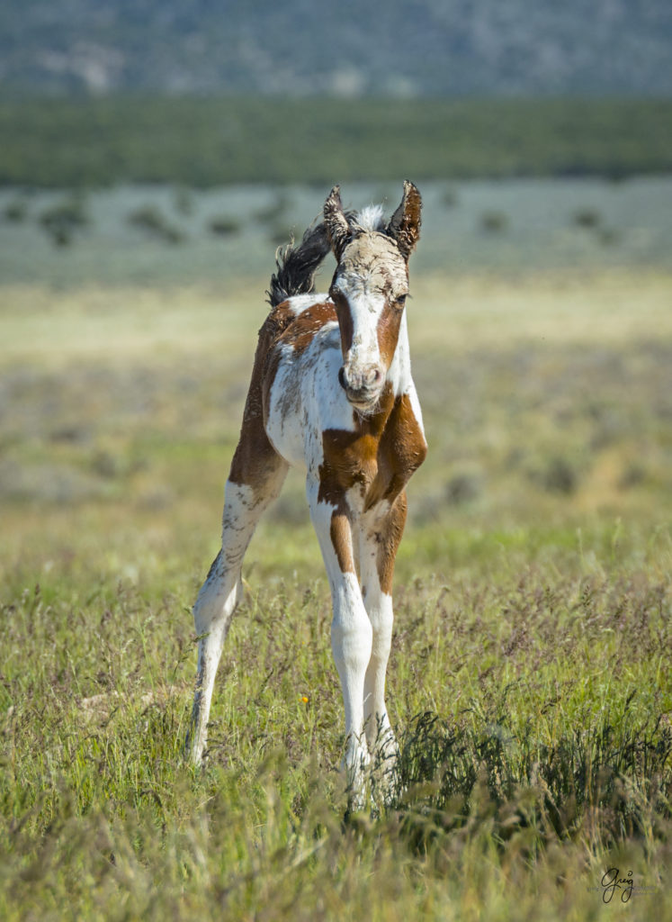 Photograph of newborn wild horse foal covered with mud from mare