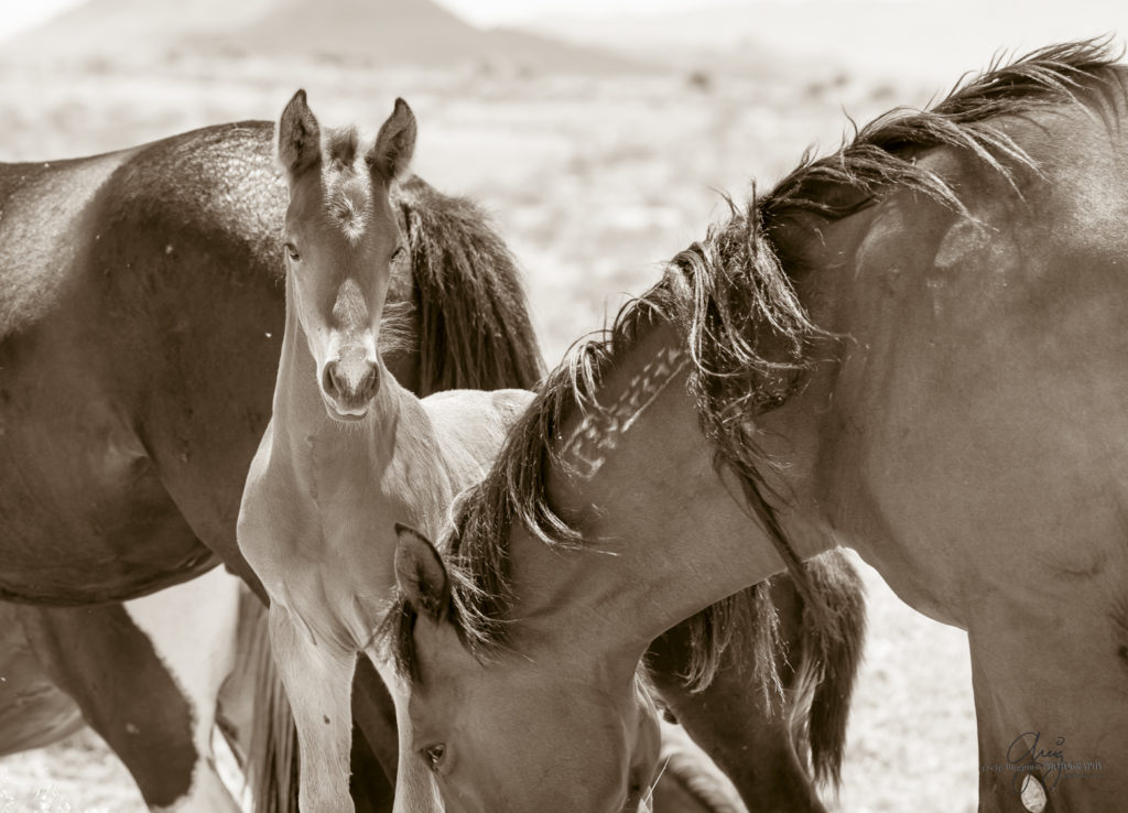 Latest Photography of Wild Horses - Onaqui Herd - Utah ...