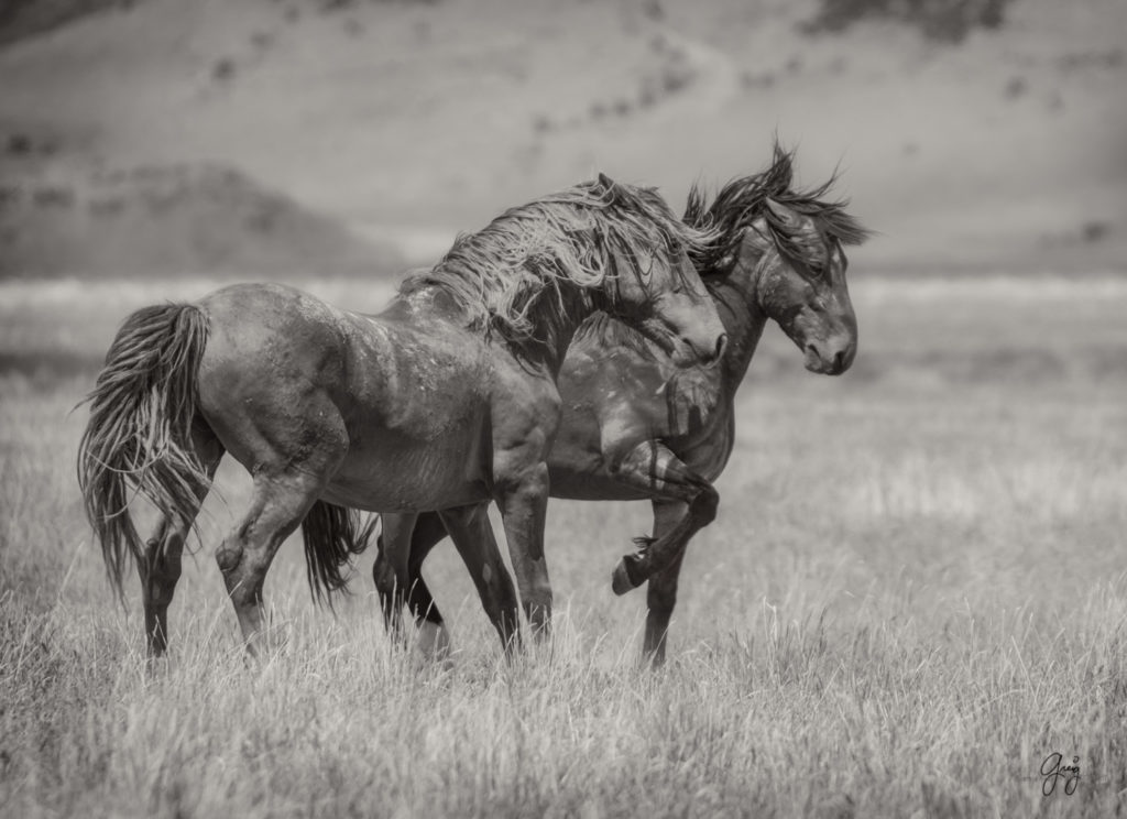Wild Horses Fighting - Onaqui Herd - Photography of Wild ...