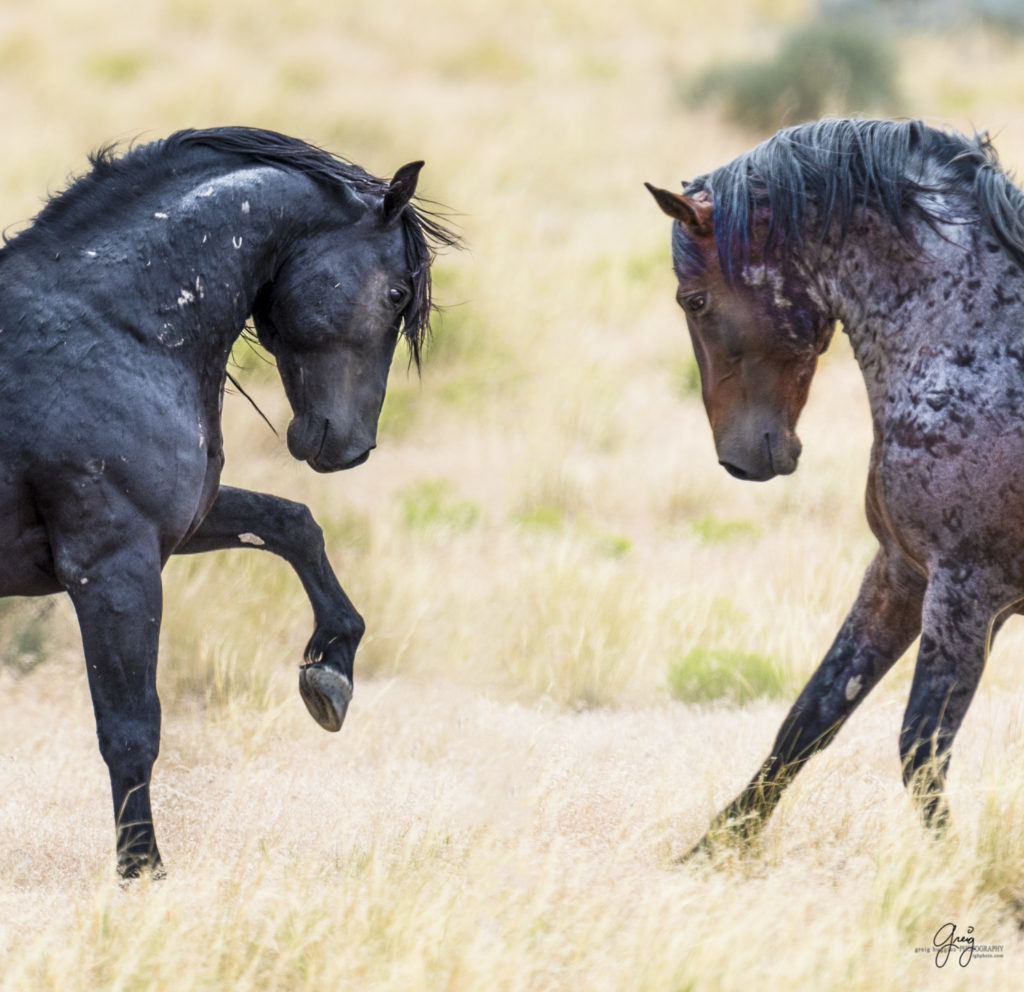 photography of wild horses fighting stallions mustangs stallions facing off