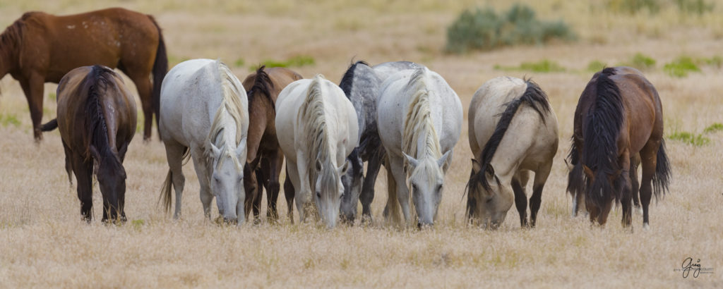 fine art photography of wild horse family mares and new foal