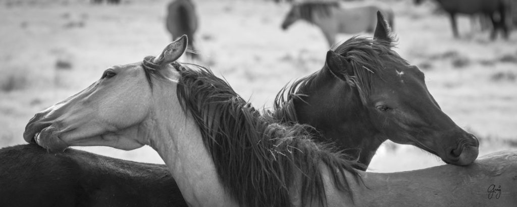 fine art photography of two wild horses itching each other  black and white