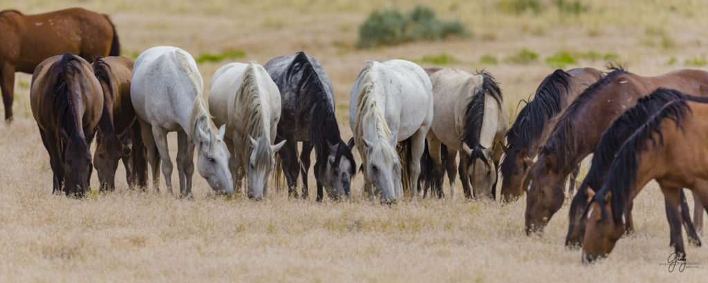 Photography of large family band of wild horses buck is stallion of this band