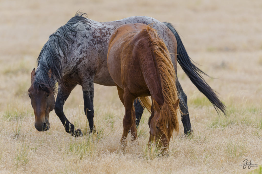 photography of wild horse roan stallion and his red mare