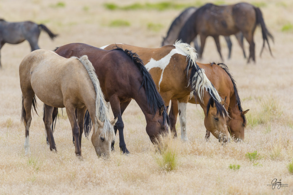 photography of four wild horse mares in Utah