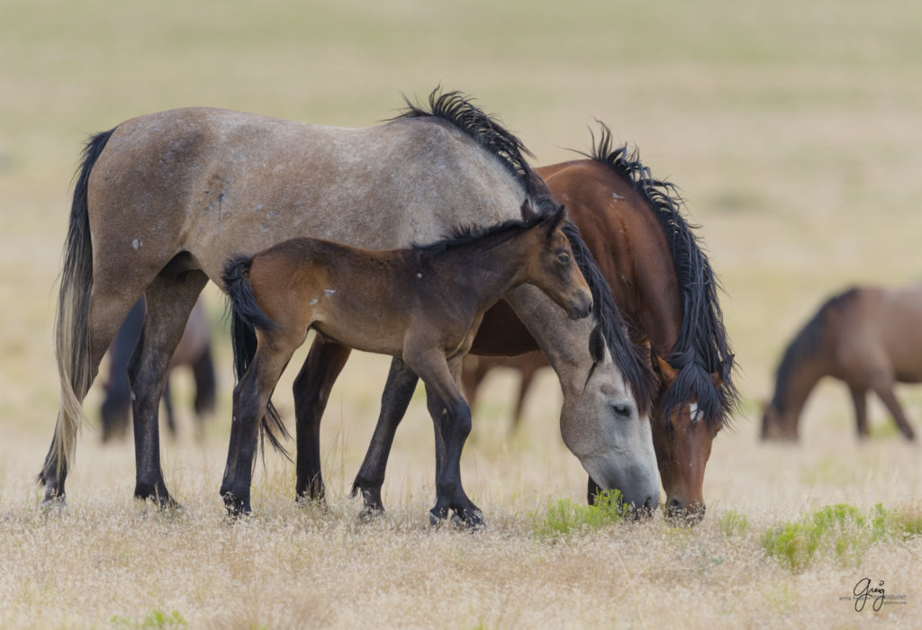 Photography of wild horse foal with mother and stallion mustang father