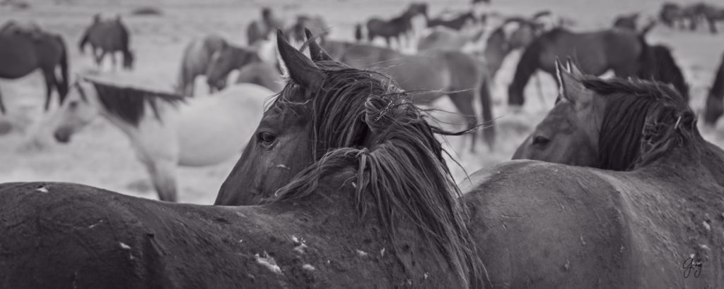 fine art photography of two wild horse stallions looking back at fight black and white