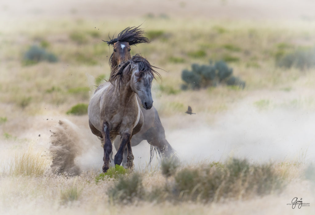 photography of wild horses fighting stallions mustangs