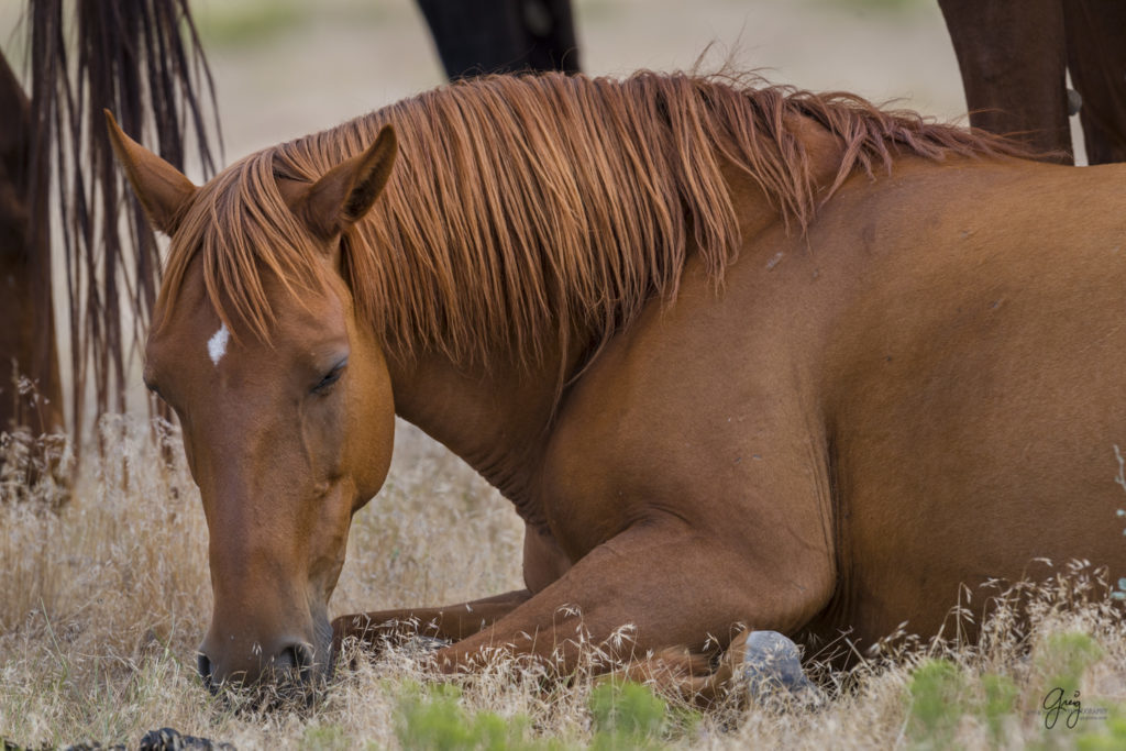 photography beautiful red mare wild horses resting