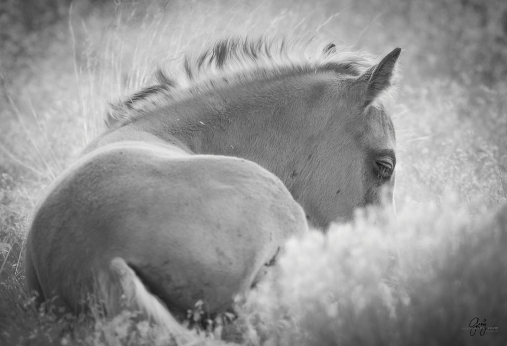 fine art photography of wild horse foal  black and white