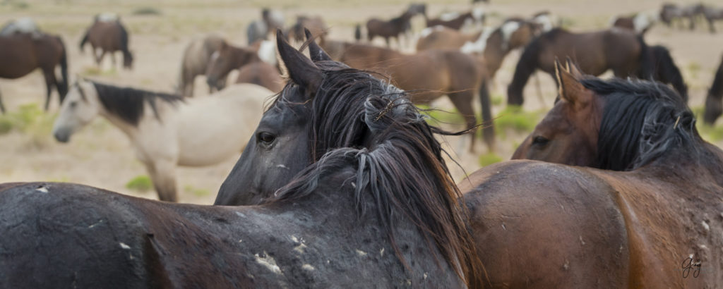 fine art photography of two wild horse stallions looking back at fight