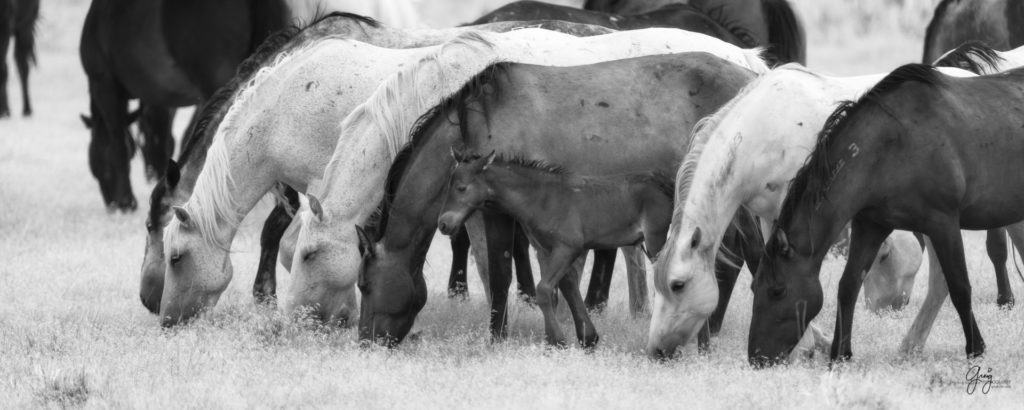 black and white fine art photography of wild horse mares and new foal onaqui herd