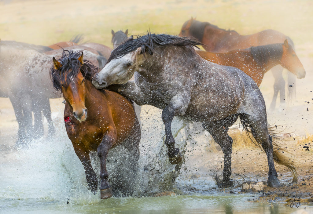 Photography of two wild horse stallions in a fierce fight in Utah's West Desert