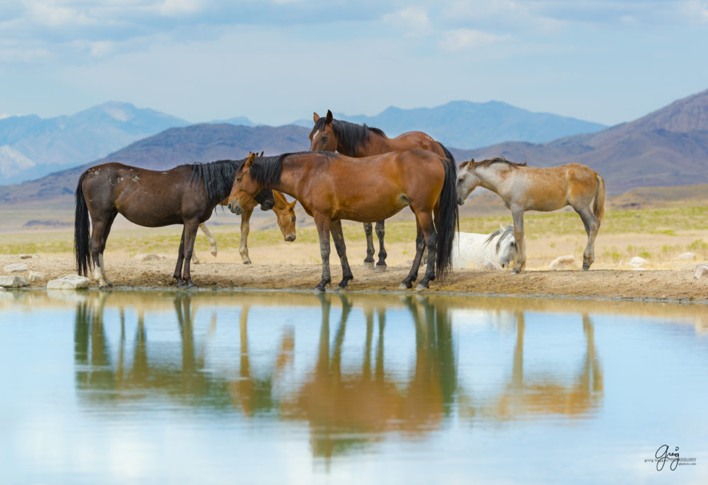 Photography of a family of wild horses at the watering hole Onaqui herd Utah's West Desert