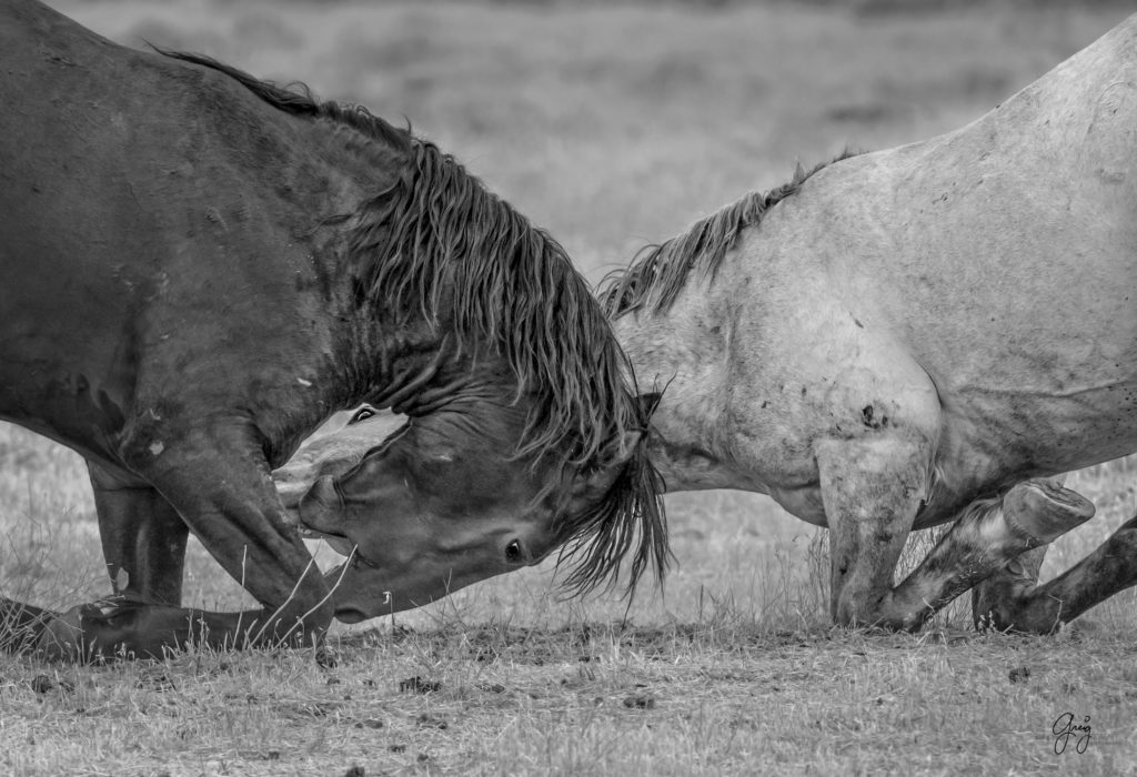 Black and White Photography of two wild horse stallions fighting.  Horses on their knees
