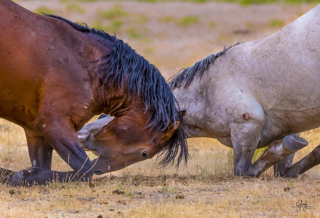 Photography of two wild horse stallions fighting.  Horses on their knees