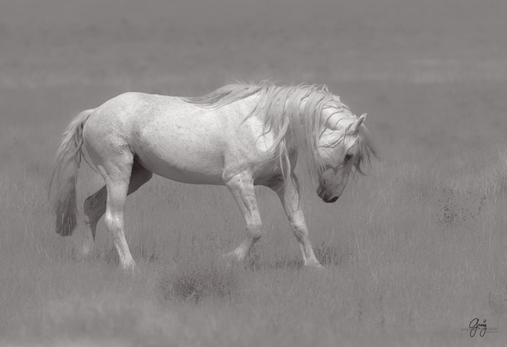 black and white photography of wild horses, horse photography, fine art photography of horses