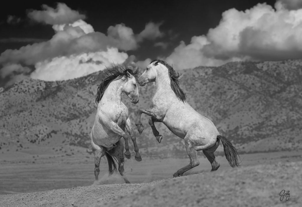 black and white photography of wild horses fighting, horse photography, fine art photography of horses