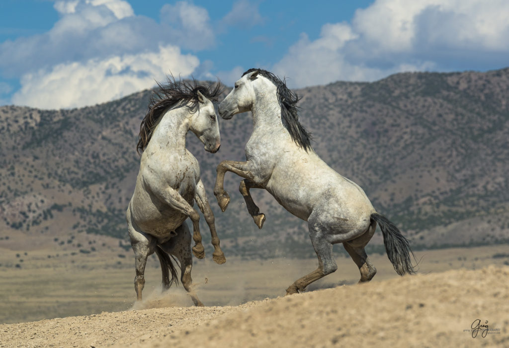 photography of wild horses two stallions fighting horse horses