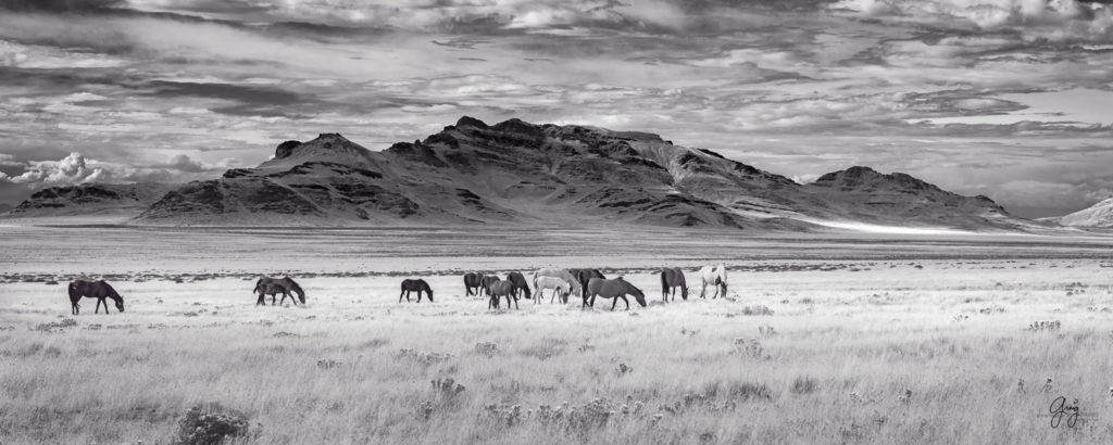 Black and White photograph of wild horses with Utah's West Desert in background