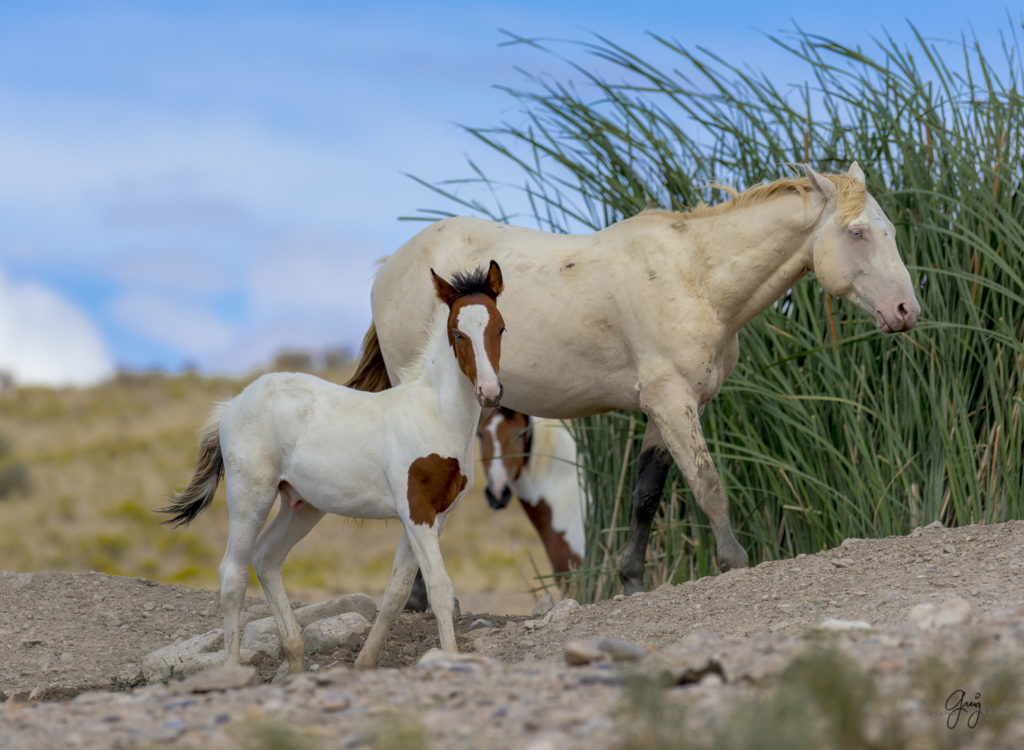 Photograph of Wild horse foal with one blue eye and one brown eye standing with his father