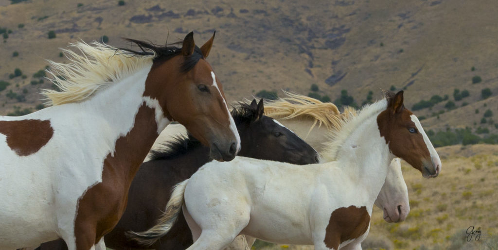 Photograph of Wild horse family band on the run