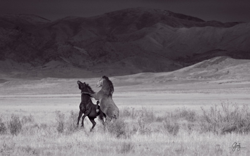 Black and white photographs of wild horses photography of wild stallions fine art photography