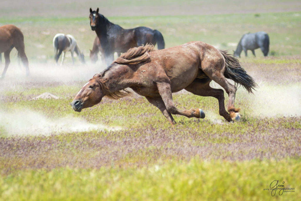 wild horses fighting onaqui herd photography of wild horses
