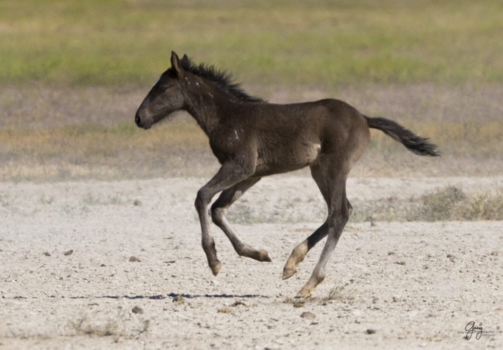 Photographs Of Onaqui Herd Wild Horses May 2017
