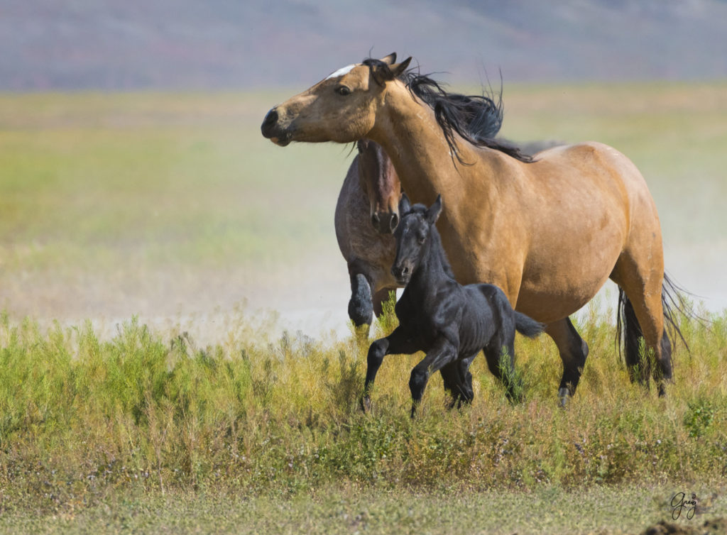 Photographs of Onaqui Herd Wild Horses - May 2017 ...