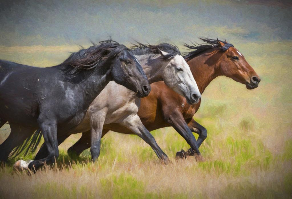 horses wild horse fine photographs herd stallions resolution photograph running onaqui india utahwildhorses impression dsc0271 edit