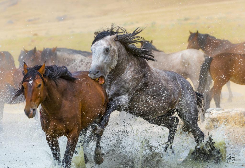 New Photographs July Onaqui Herd Of Wild Horses Photography Of Wild Horses Onaqui Herd