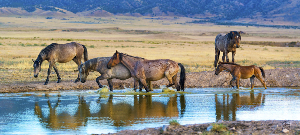 Wild Horse Photography July 27 Onaqui Herd Photography