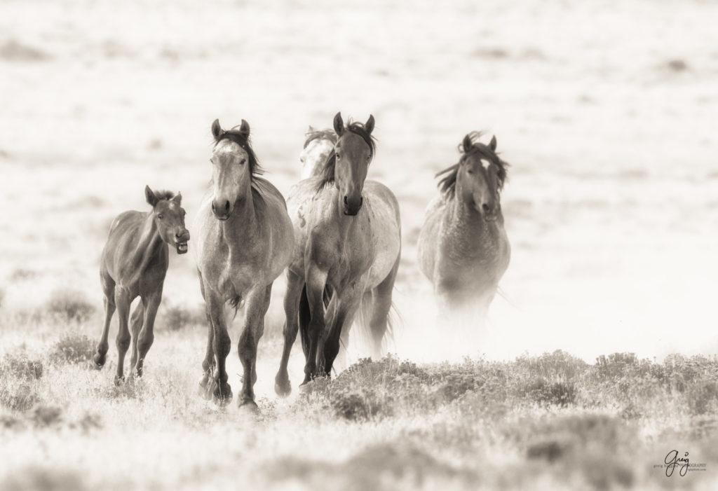 Wild Horse Photography 11 Photography Of Wild Horses Onaqui Herd