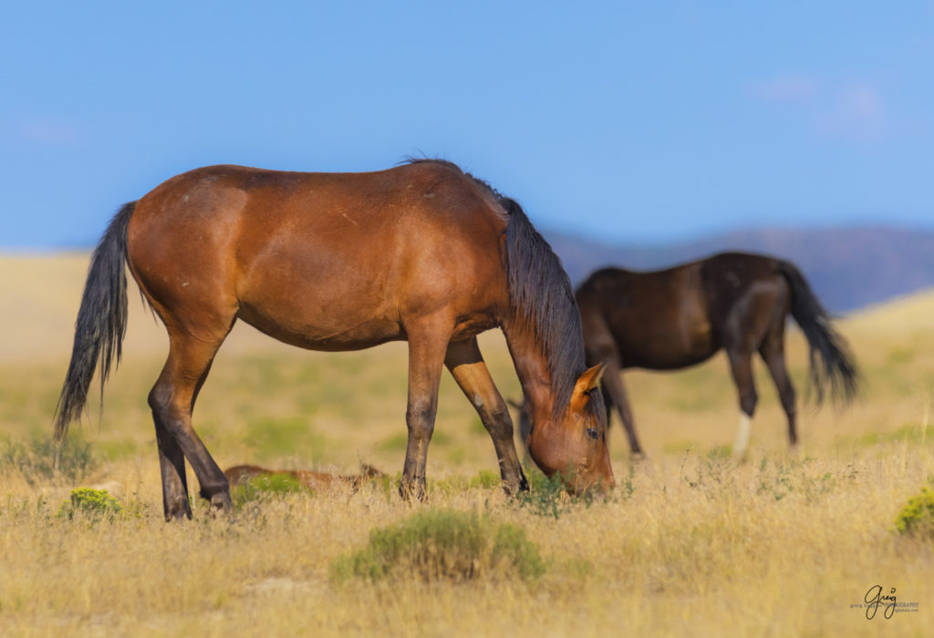 wild horse photography july 27 onaqui herd photography wild mustangs in oklahoma wild mustangs nevada