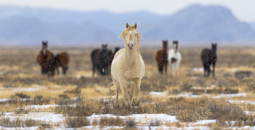 wild horses, wild horse photography, fine art photography, fine art photography of wild horses, onaqui herd, onaqui herd wild horses, utahwildhorses, utah wild horses, wild horse stallion, wild horse blue eyes