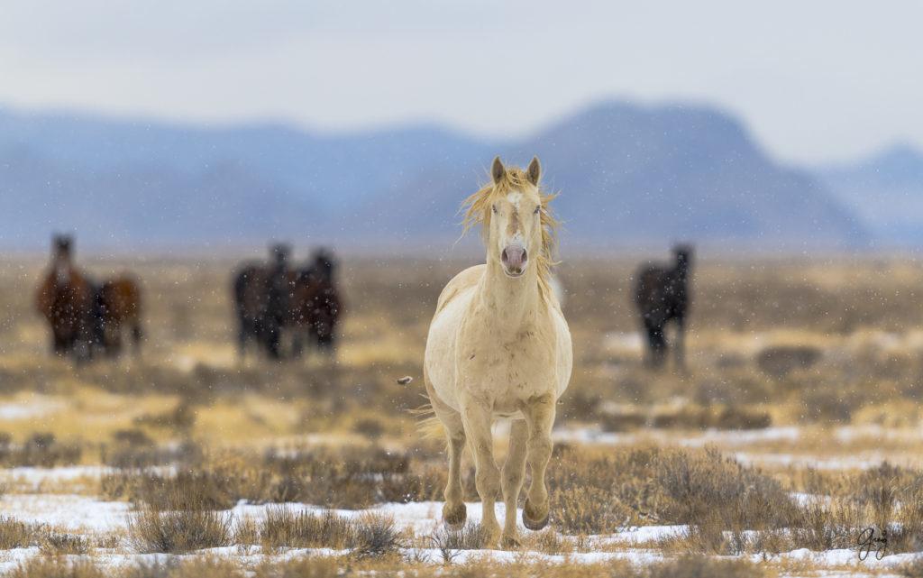 wild horses, wild horse photography, fine art photography, fine art photography of wild horses, onaqui herd, onaqui herd wild horses, utahwildhorses, utha wild horses, wild horse with blue eye, blue eyed stallion, wild horse stallion