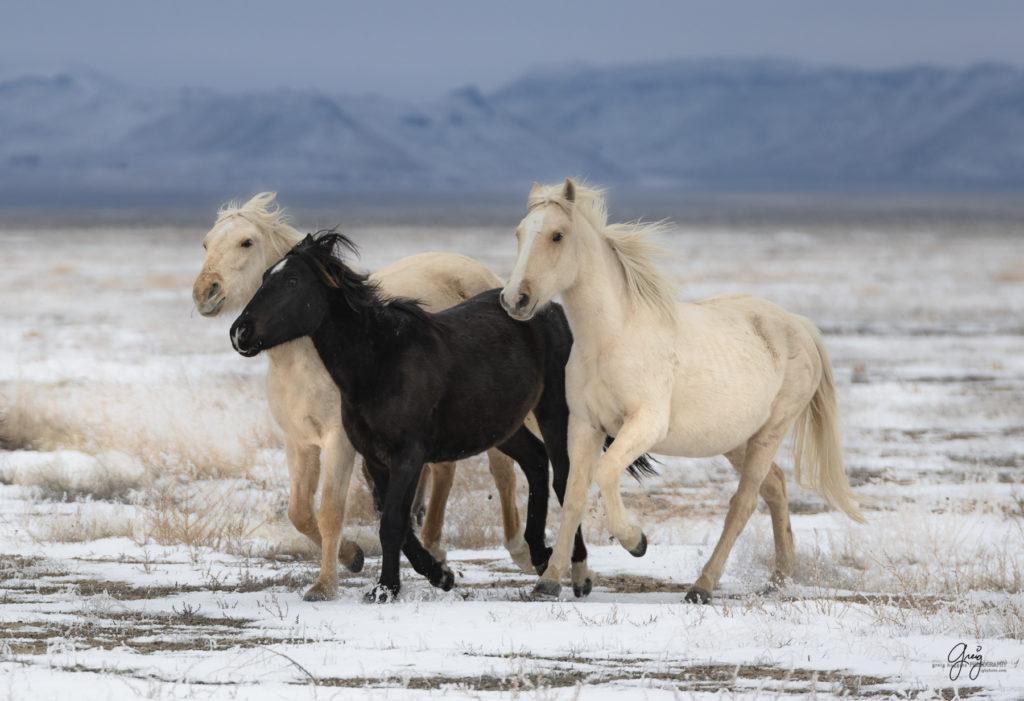 Onaqui Wild Horses In Snow Photography Of Wild Horses Onaqui Herd